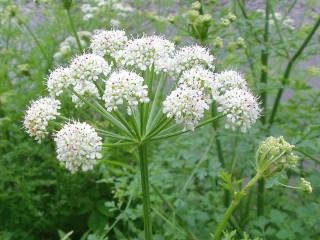 Water hemlock dropwort is one of the most toxic of Britain's poisonous plants