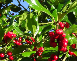 Although related to the coffee plant, the red-fruited evergreen, holly, is one Britains poisonous plants.