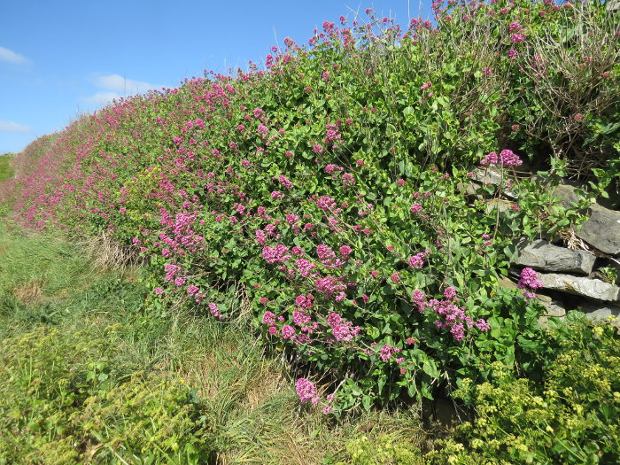 How to Identify Red Valerian (Centranthus ruber) Valerianaceae Family