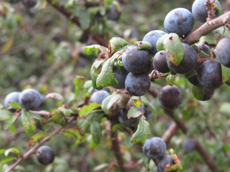Blackthorn stone fruits are commonly known as sloes and when fully ripe in the autumn, make a cracking infused gin.