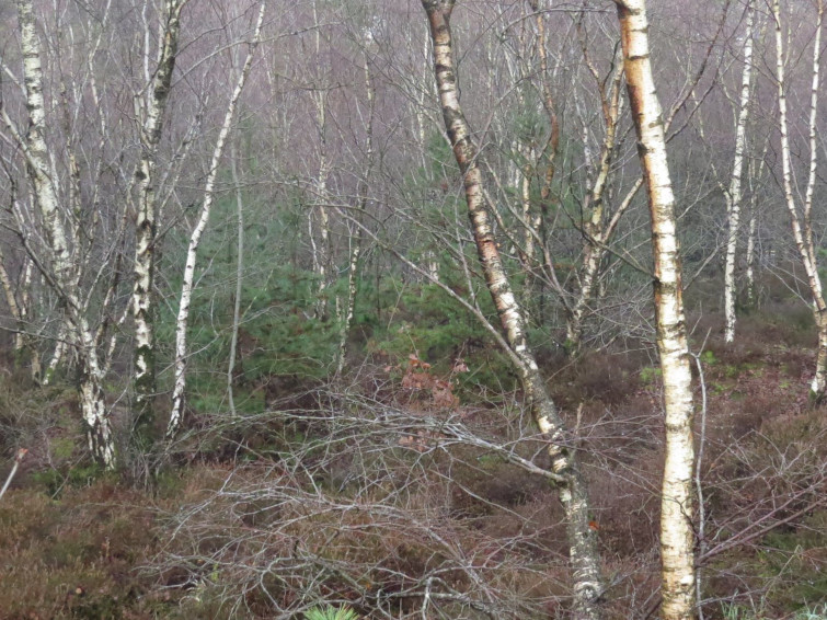 Silver birch is a short lived pioneer plant, creating new woodland eco systems.