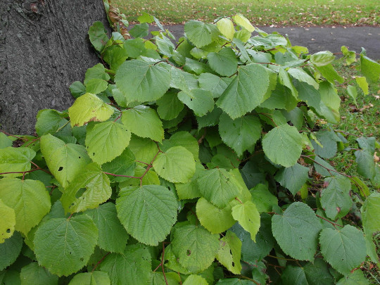 Salads from our various lime trees can be quickly gathered during May and June.