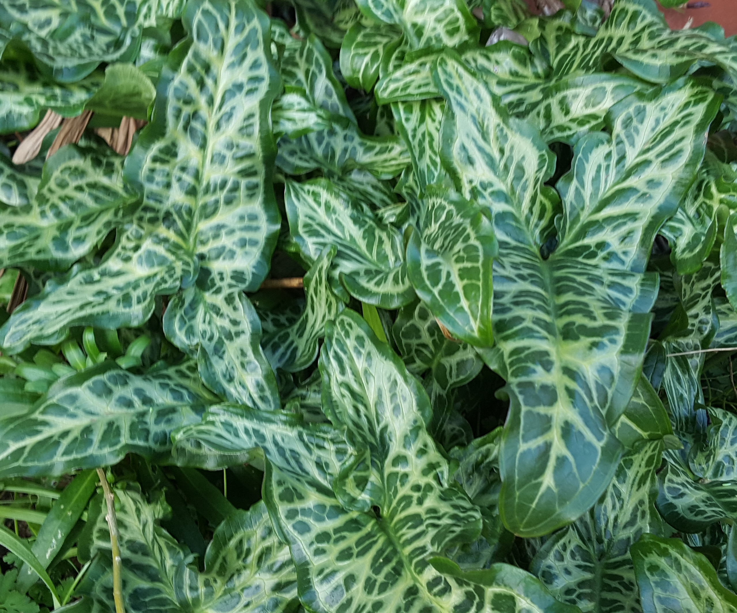 If you find an Arum with variegated leaves it will be the closely related species A.itallicum