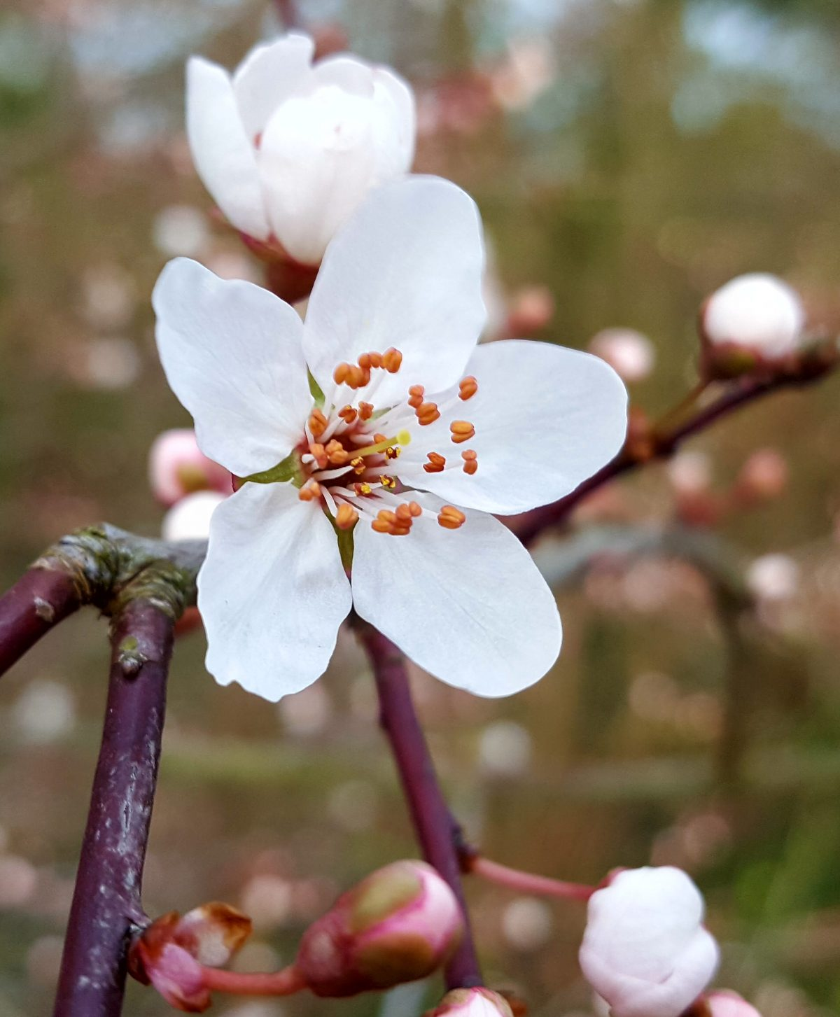 The pink flushed buds and orange-tipped stamens of cherry plum help to distinguish it from its close relative, blackthorn.