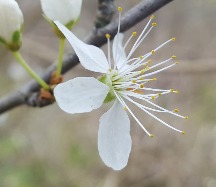 when you are foraging blackthorn flowers it is important to only harvest them with pollen-loaded stamens