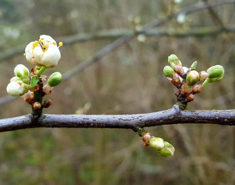 Toung blackthorn twigs will usually display a purple-coloured, pruinose coating. This will peel off in due course