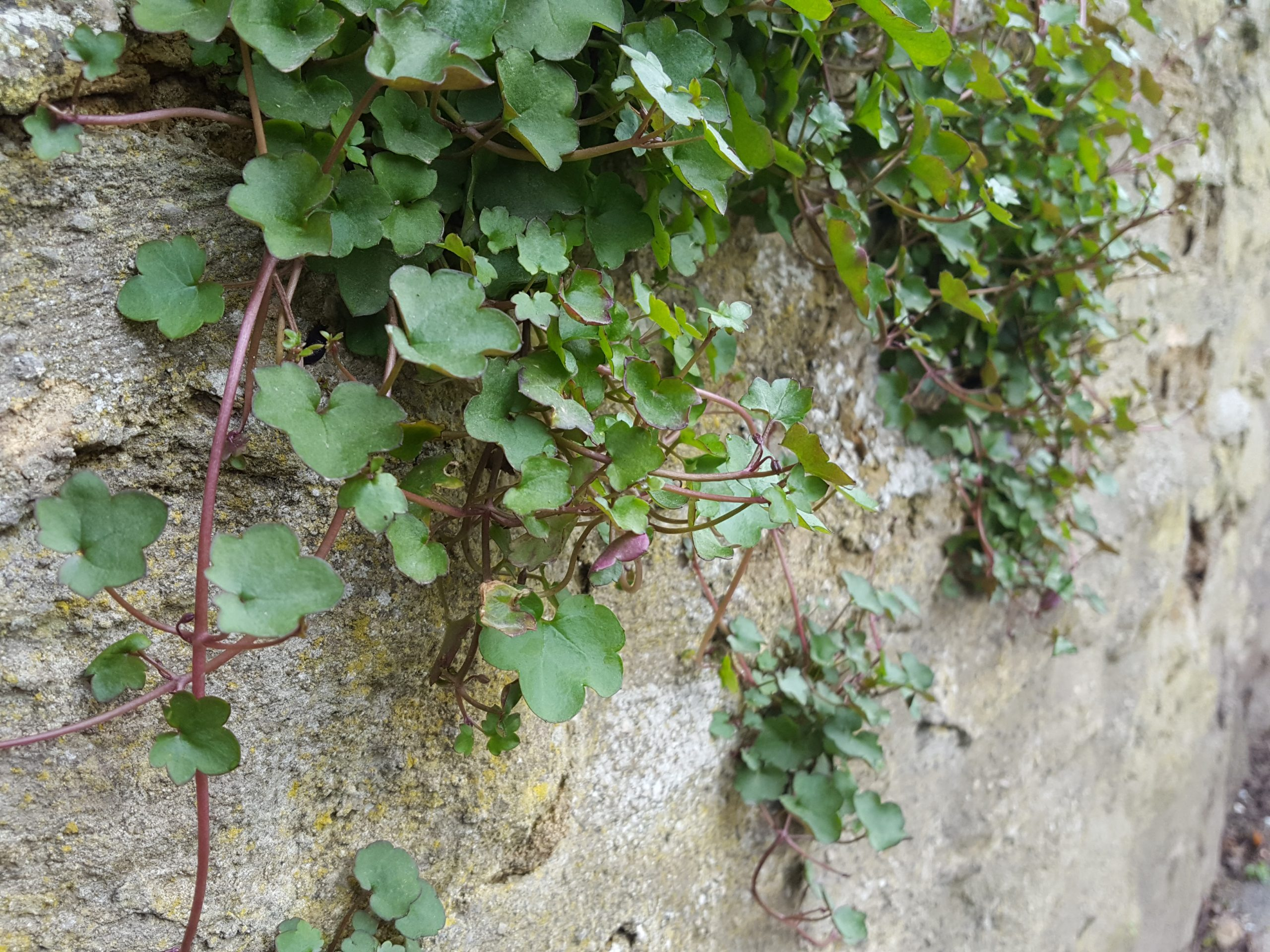 Once established, ivy leaved toadflax starts producing trailing stems which root at the node.