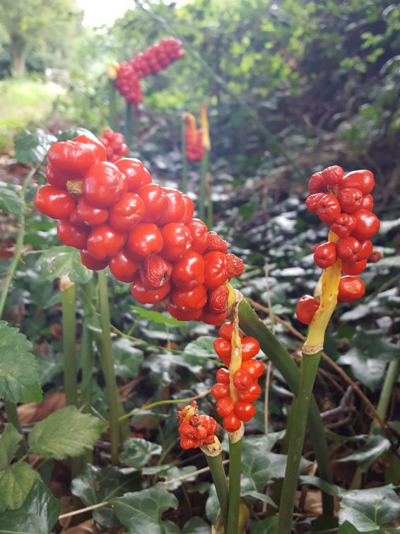 Clusters of bright orange-red berries make it easy to idemtify Lords and Ladies in late spring and summer.