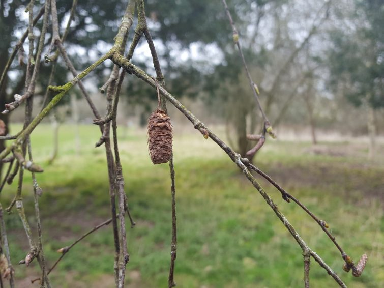 Cigar-shaped, female fruiting 'cones' persist on the tree into the next year.