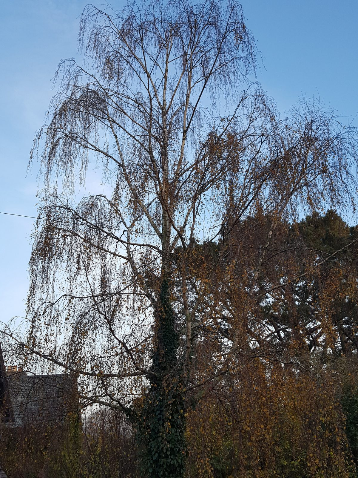Foraging for silver birch (Betula pendula) Betulaceae family