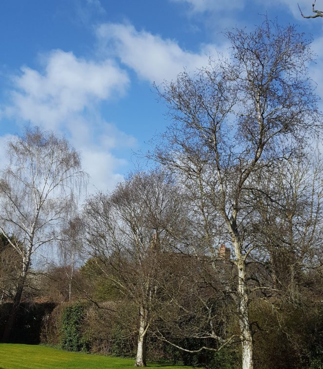 Silver birch will commonly be found planted in shared gardens.