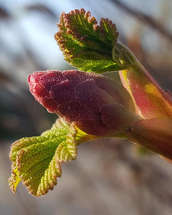 The flowering currant is noticeable for it opening its flowers and leaves at the same time