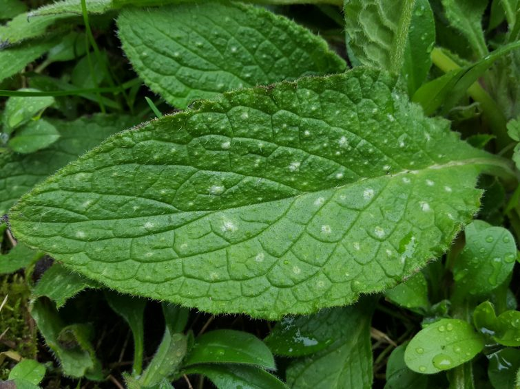 The spots are mostly but not always present on green alkanet's leaves.