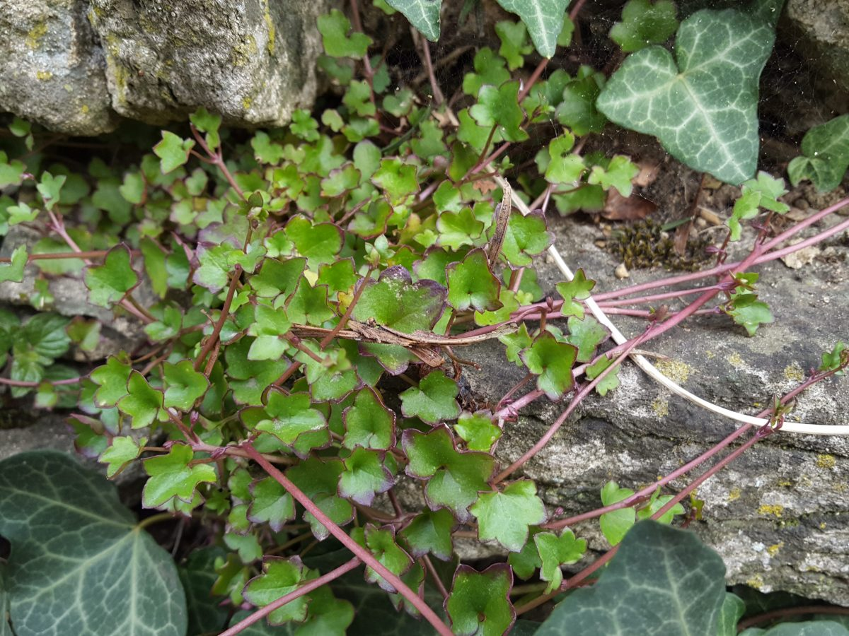 Foraging ivy-leaved toadflax (Cymbalaria muralis) Plantaginaceae family