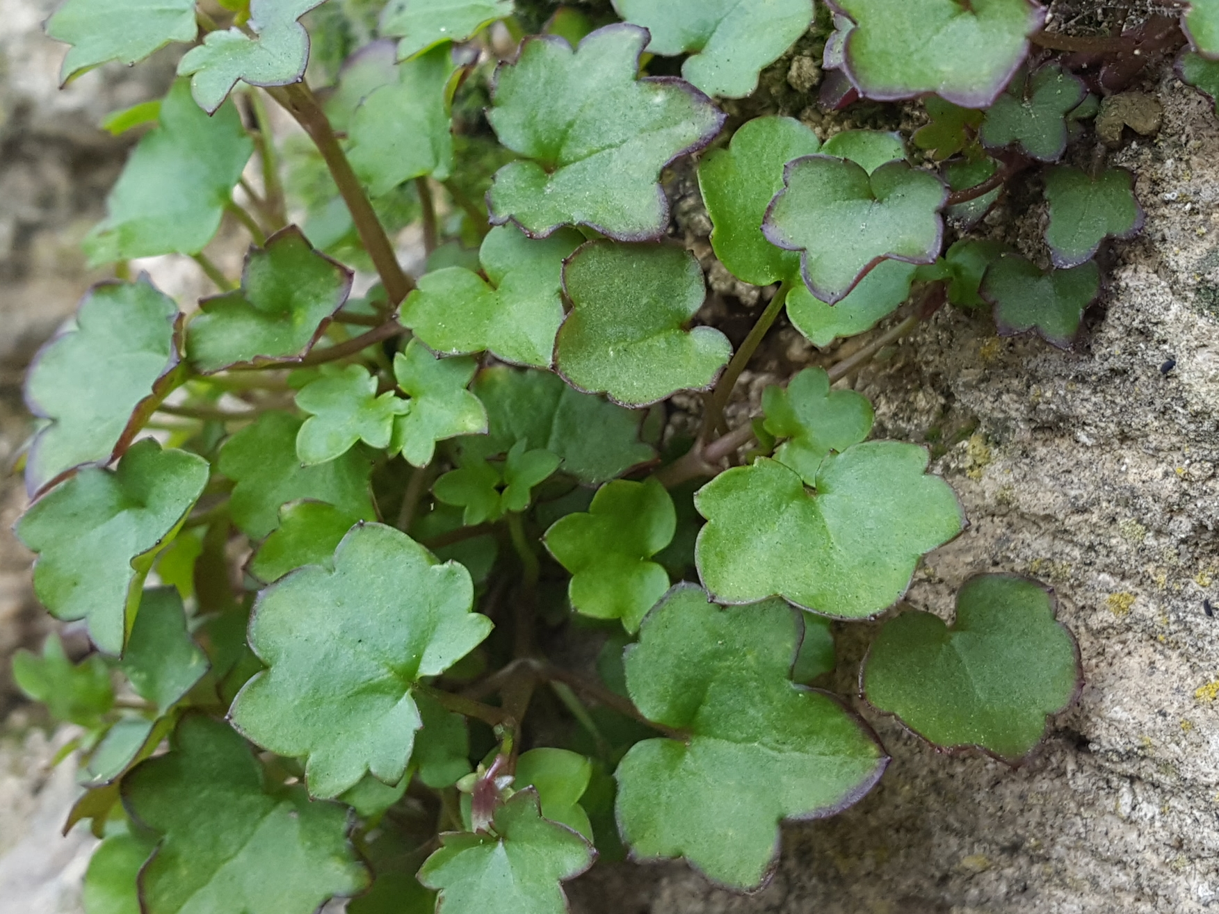 The glossy, thick and hairless leaves have between 3 and 7 leaf lobes.