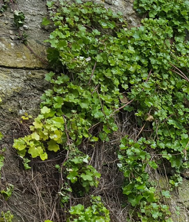 Ivy-leaved toadflax thriving on a wall in Oxford, which give rise to another common name - Oxford ivy