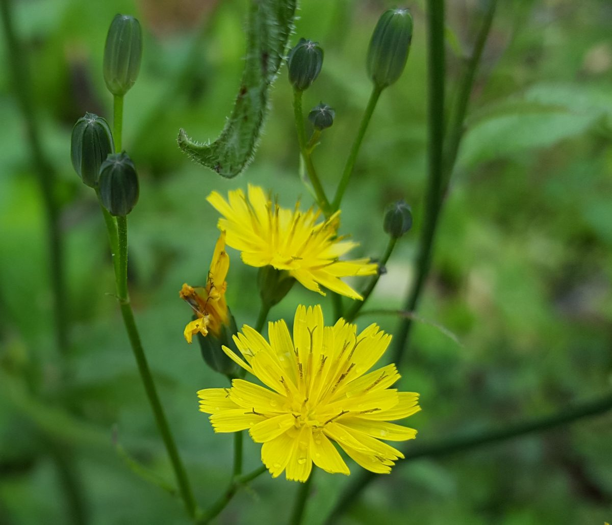 UK Guide to Foraging Nipplewort for Microgreens (Lapsana communis) Asteraceae family