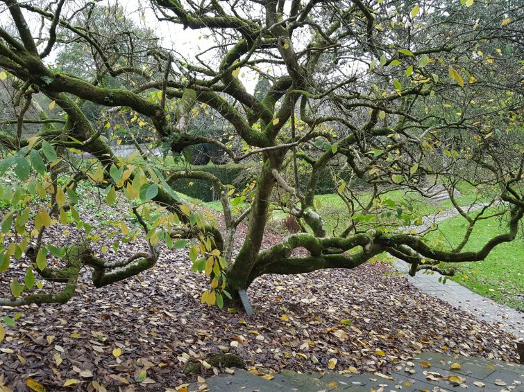 This sprawling old Magnolia in Dartington Gardens, South Devon produces lots of edible flowers in spring