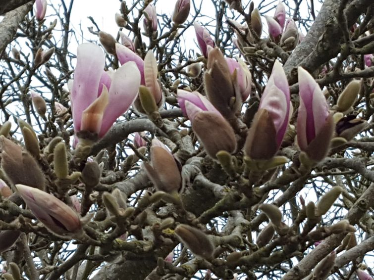 The yellow-brown flowerbuds burst open in late March with fragrant edible flowers.