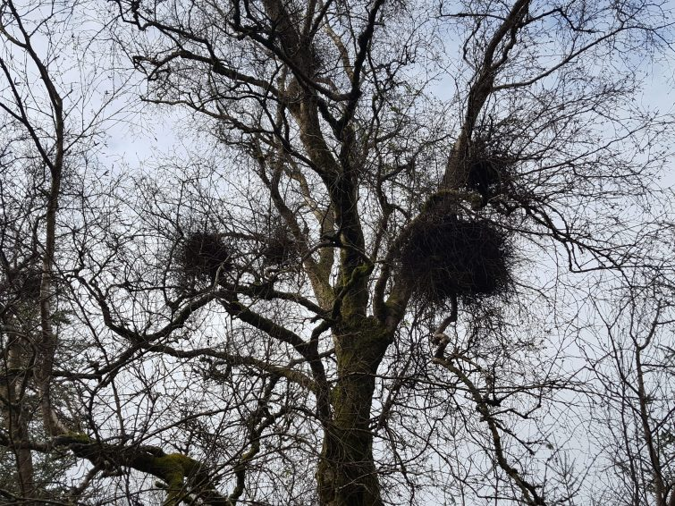 Witches brooms are created from a fungal infection causing the over-production of stems.