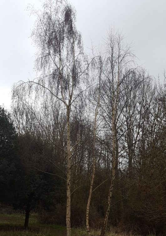 The drooping, pendulous branches are a tell-tale feature of silver birch.