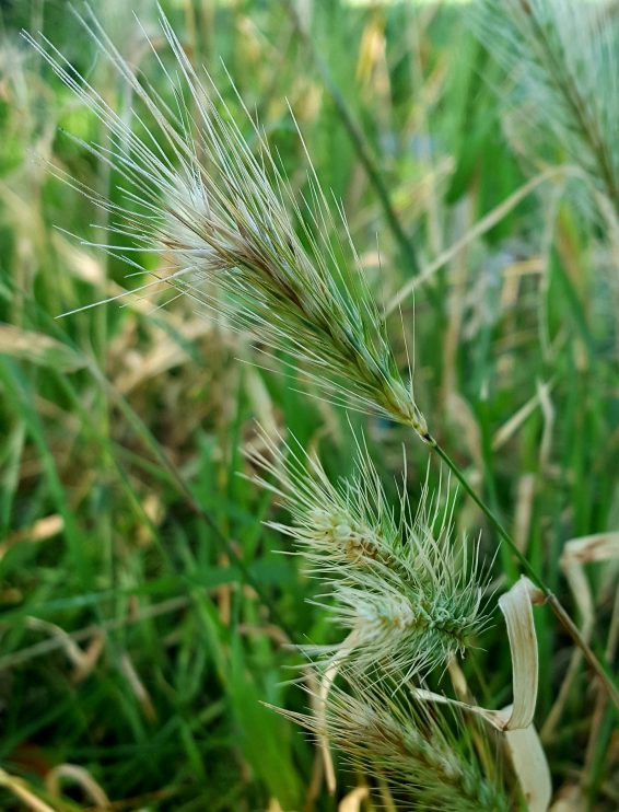 The long bristly hairs on barley are the reason why gorse and barley share the same origins of names.
