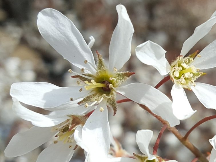 The five-lobed stigma surrounded by a mass of stamens