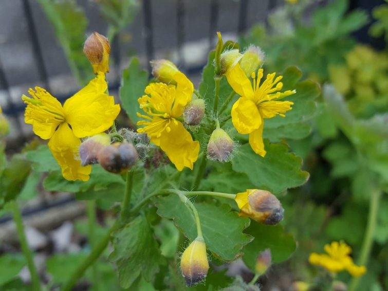 Greater celandine has four untidy looking butter-yellow petals and a mass of yellow stamens.