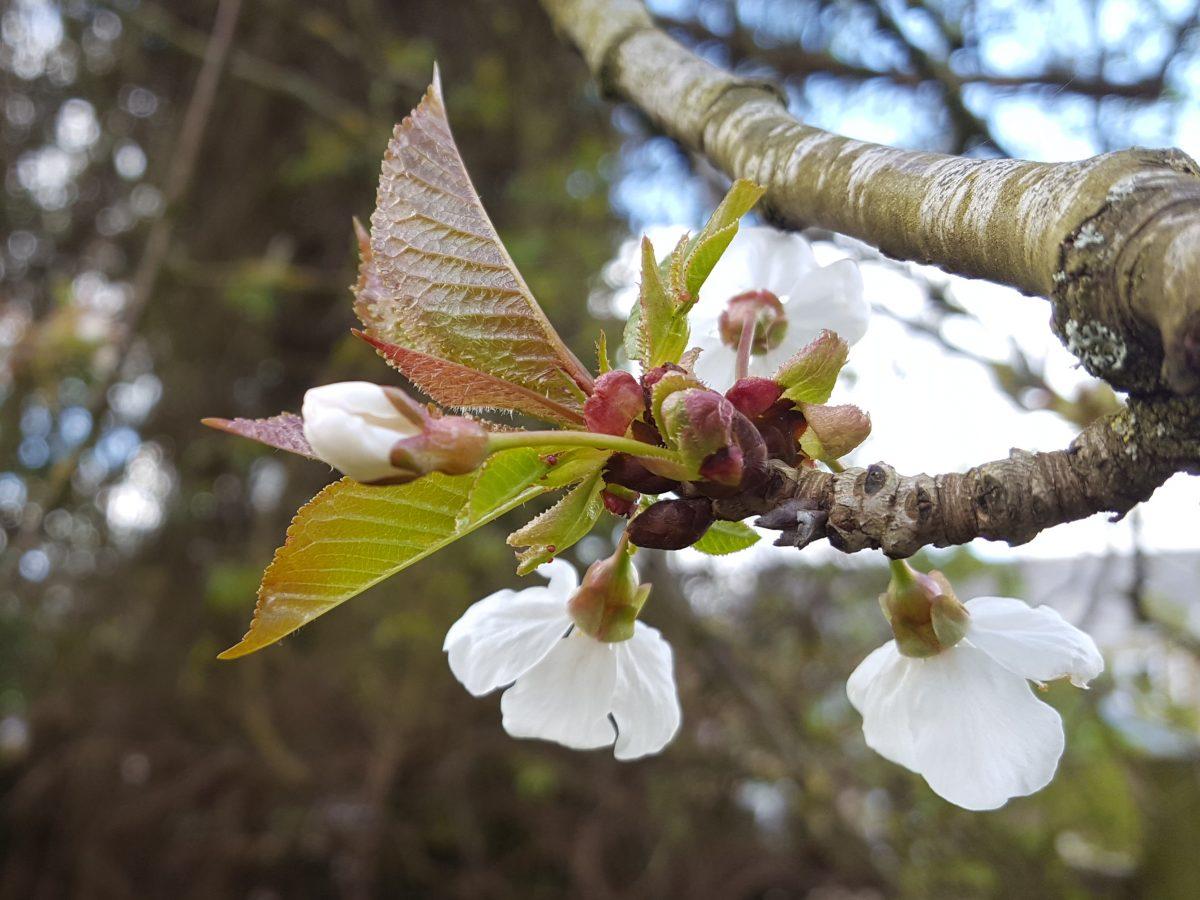 Foraging wild cherry (Prunus avium) Rosaceae family