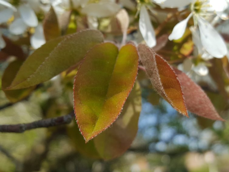 The changeable colours of jJuneberry leaves in late April