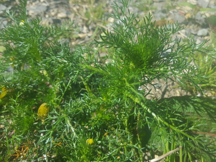 When you are foraging pineappleweed you will come across this small herb erect or prostrate