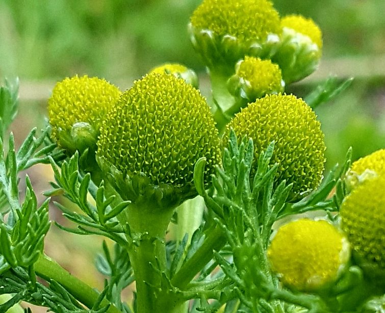 Pineappleweed produces hundreds of tiny seeds that are moved long distances with the aid of wind and rail