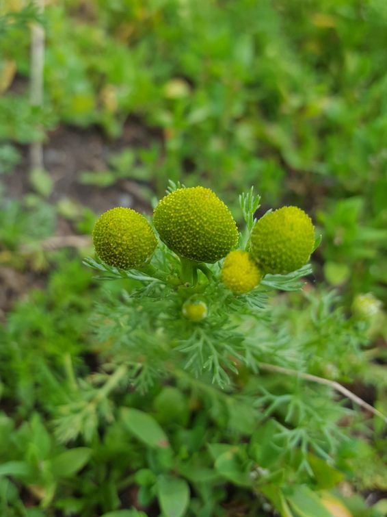 Pineappleweed has rayless composite flowerheads