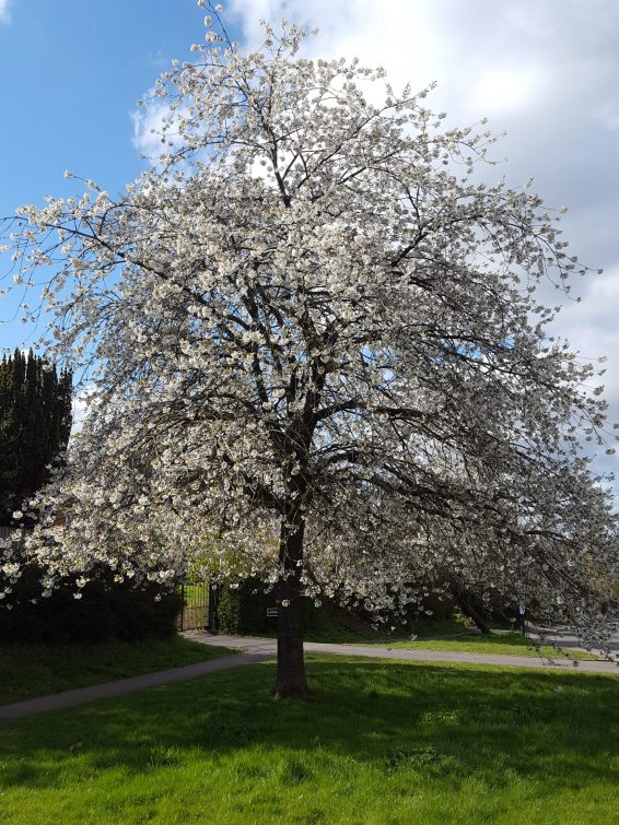 Wild cherry is widely planted in our towns and cities, and easily found as an amenity specimen.
