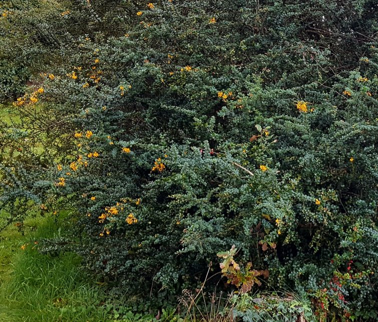 Darwin's barberry will reach more than 3 metres high if it can