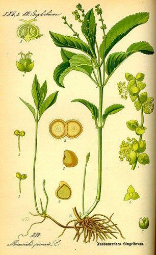 Antique botanical illustration of dogs mercury