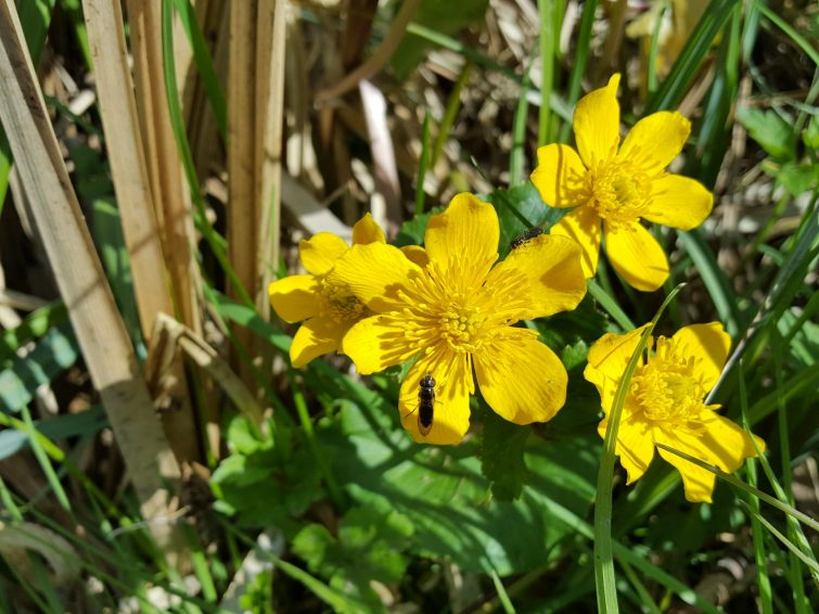 The main flowering season and best time to identify marsh marigold is during April. It can bloom as early as March if warm enough.