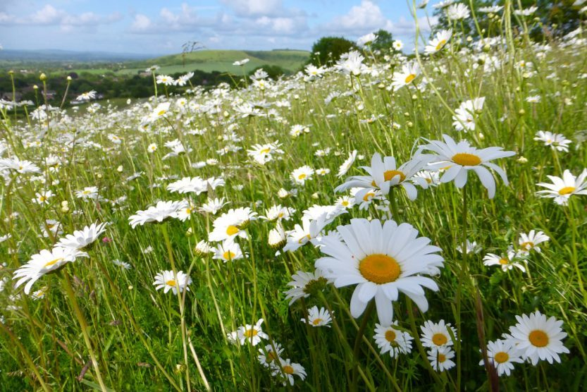 ox-eye daisy flowers in grassland during the summer produces a wealth of flowers