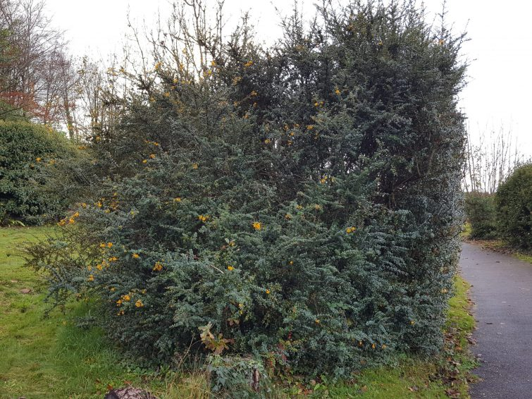 An untamed specimen, with numerous thrusting branches.